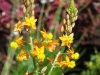 b-frutescens_bulbine_best_xeriscaping_plants_for_texas