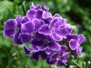 duranta_erecta_texas_native_plant