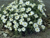 melampodium-leucanthum_black_foot_daisy_xeriscape_flower_beds_texas