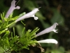 poliomintha-longiflora_mexican_oregano_mint_xeriscape_design_austin_texas_native_plants
