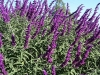 salvia_leucantha_drought_tolerant_low_maintenance_texas_plant