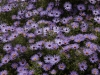 symphyotrichum-oblongifolium_fall_aster_aromatic_xeriscaping_design_austin_texas_native_plants
